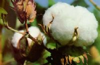 Cotton seed product efficacy